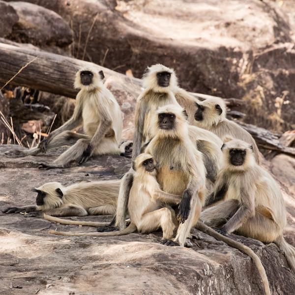 Black-faced monkey troop