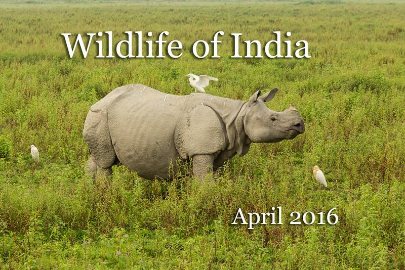 Indian rhinocerous