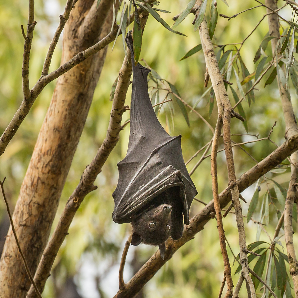 A bat resting at Katherine Gorge.
