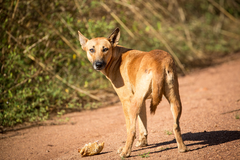 There are some famous stories about dingos in Australia, but we had not seen one. Within an hour of so stating this dingo appeared and it was the only one we saw.