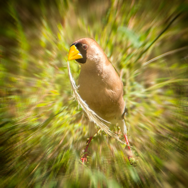A masked finch shown with a little photography trickery.