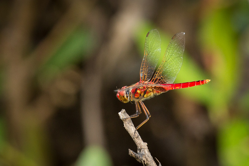 A colorful dragonfly. It's always a challenge to get a sharp picture of these creatures.