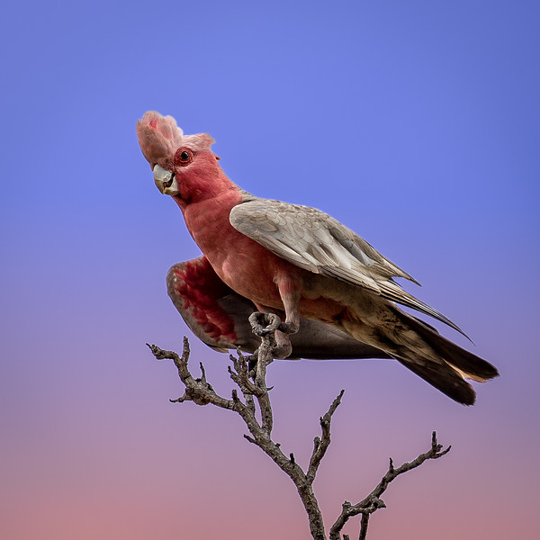 A Galah perched high in a tree. Galahs are very common throughout Australia.