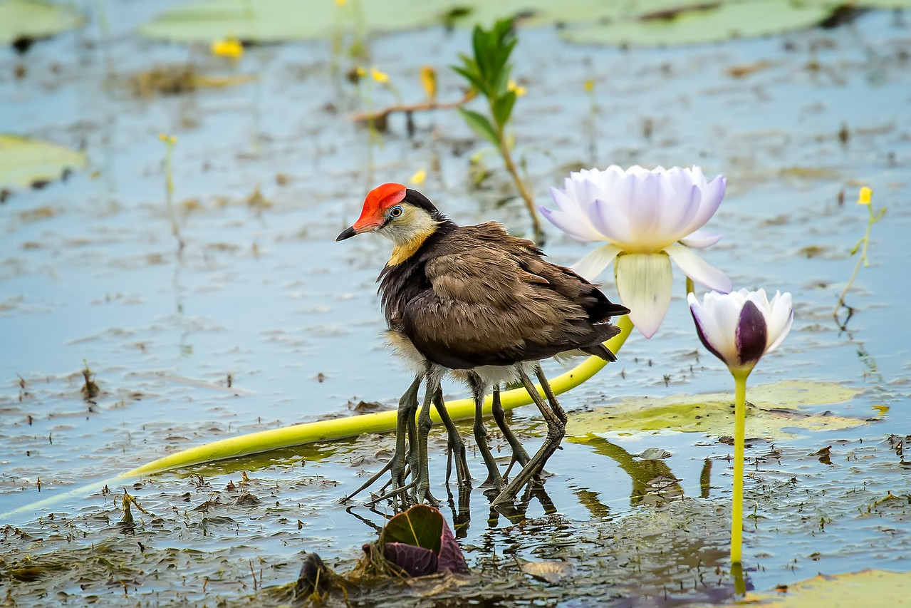 Now look closely, one Jacana and 4 sets of legs.