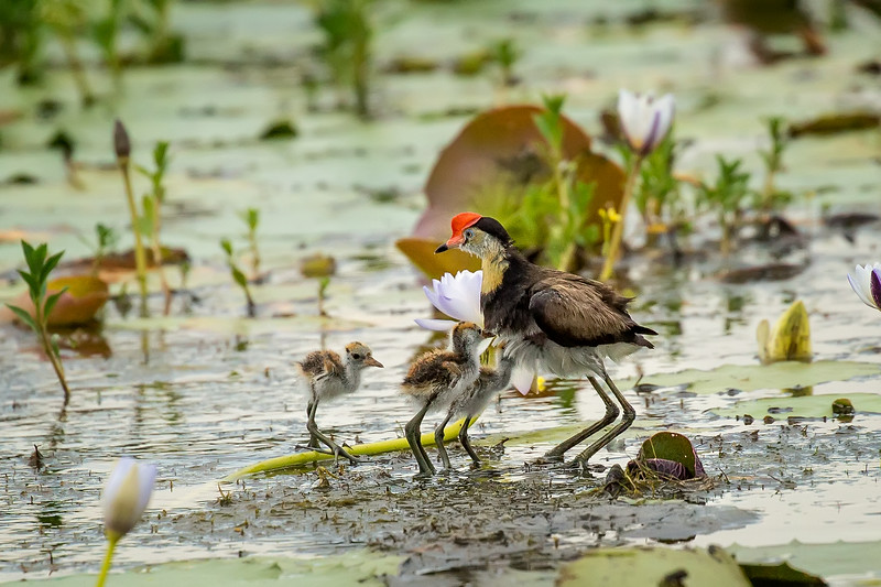 This is a comb-crested Jacana with three chicks nearby.