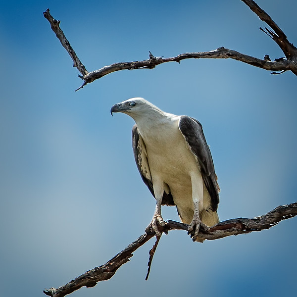 A white-bellied sea eagle comfortably perched on a branch.