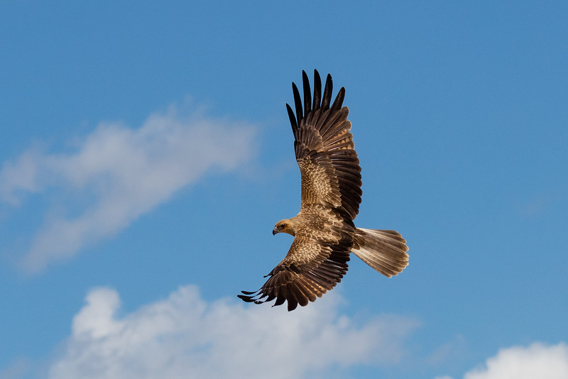 A whistling kite circling above looking for an easy meal.