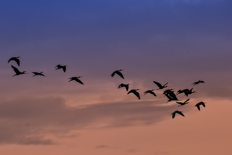 Sacred ibisis flying to their roosting site at dusk.