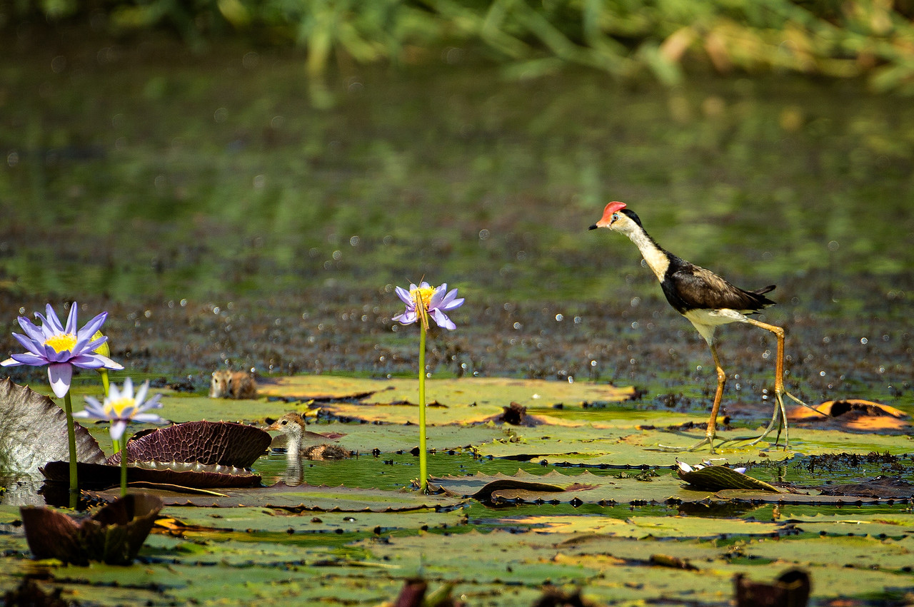 A comb-crested Jacana. See how the feet are structured so they can walk on lilly pads. Note too the small chick in the water.