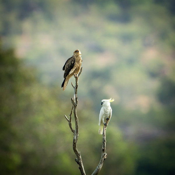 An unusual sighting, a black kite sharing a perch with a cockatoo.