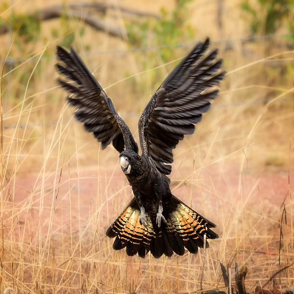 This is a red-tailed black cockatoo, an unusual looking bird.