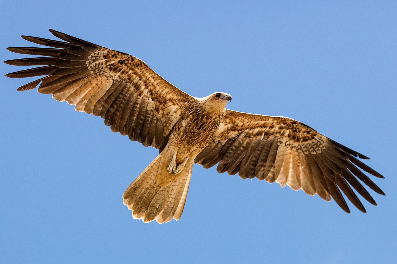 Whistling kite overhead.