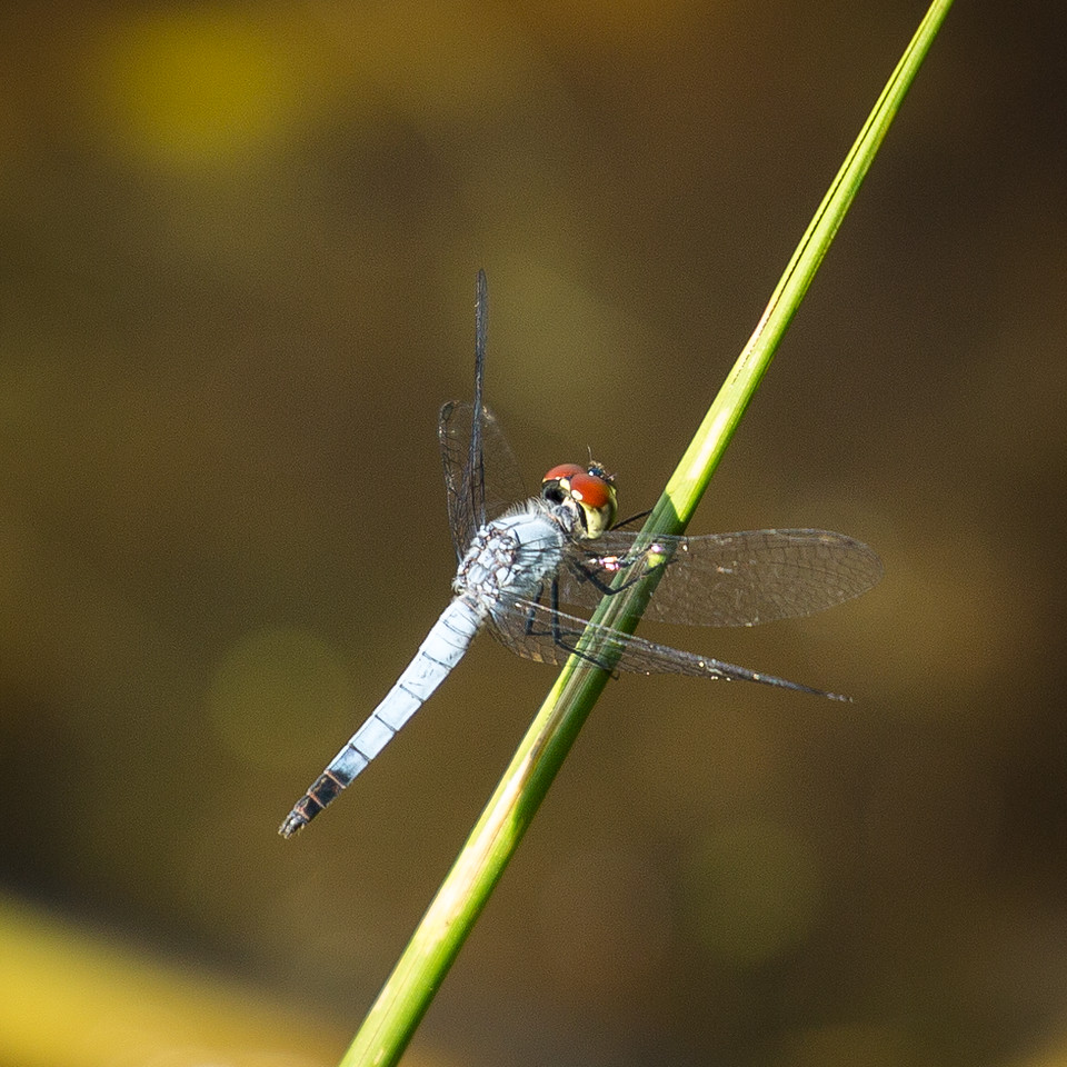 Another dragonfly.