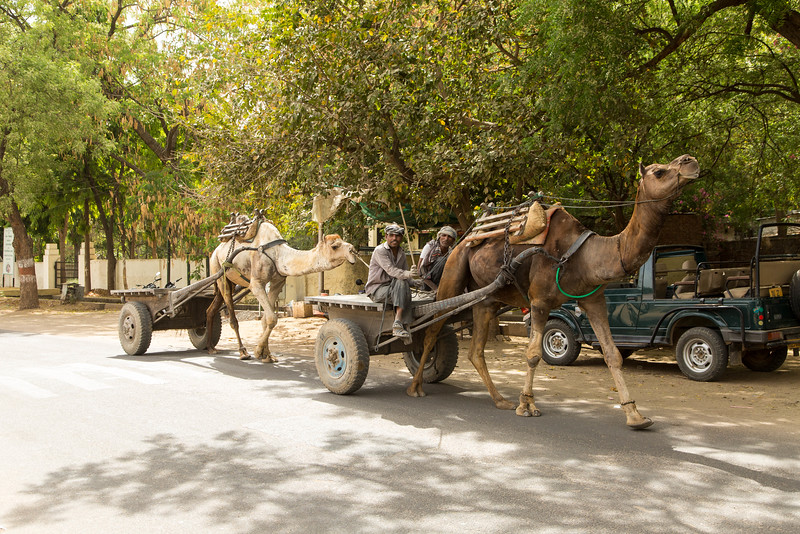 Camels were a frequent source of transportation power.