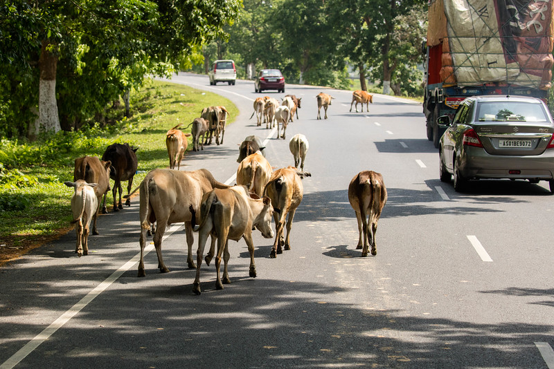 Cows are scared in India. They wonder the roads and people just work their way around them.