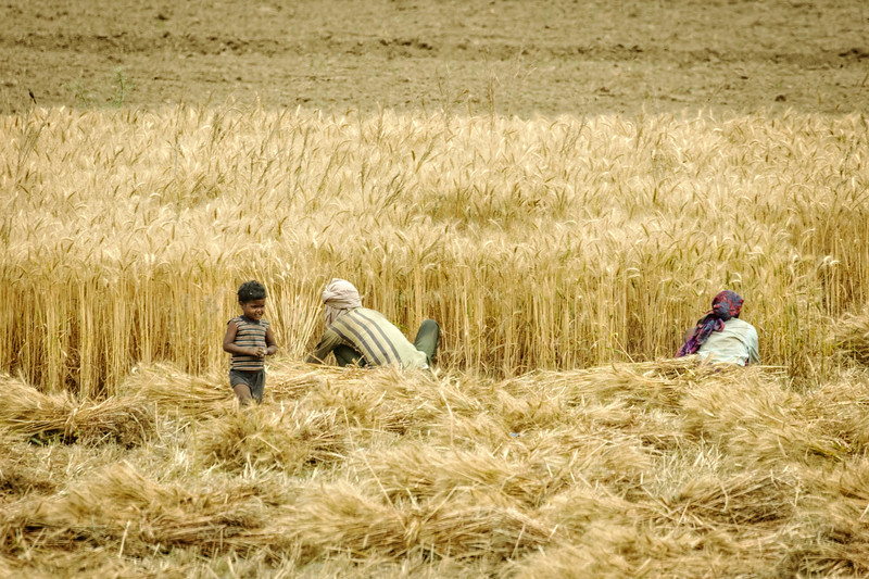 Harvesting wheat by hand.