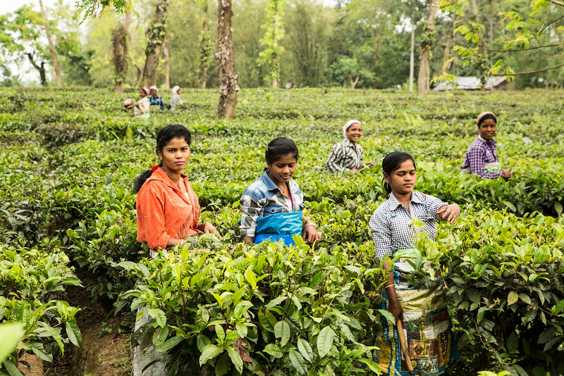Women picking tea leaves.