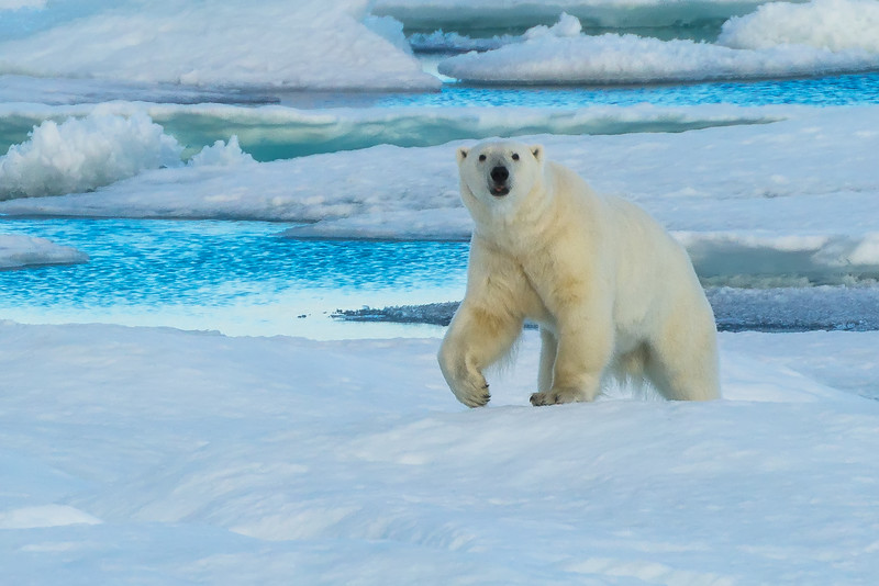 Polar bear on an ice floe.