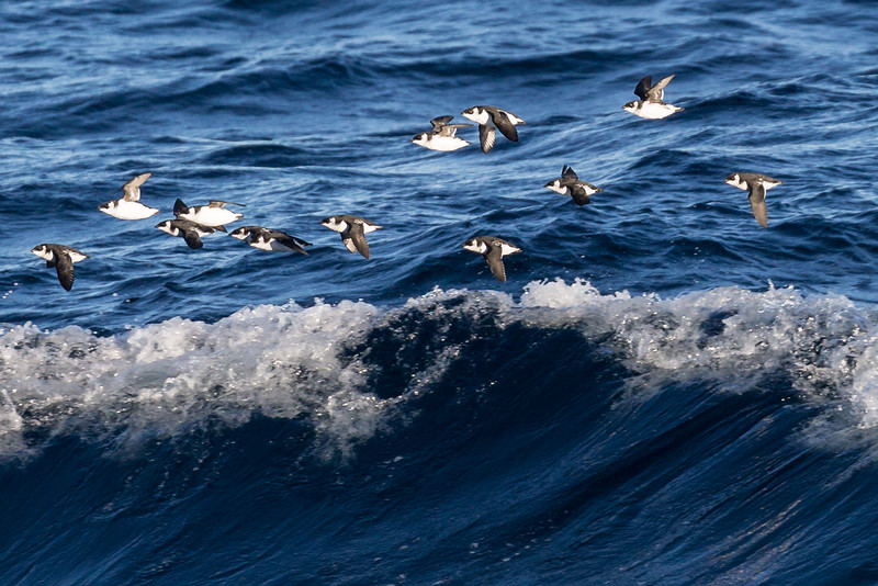 Auks flying just above the waves.