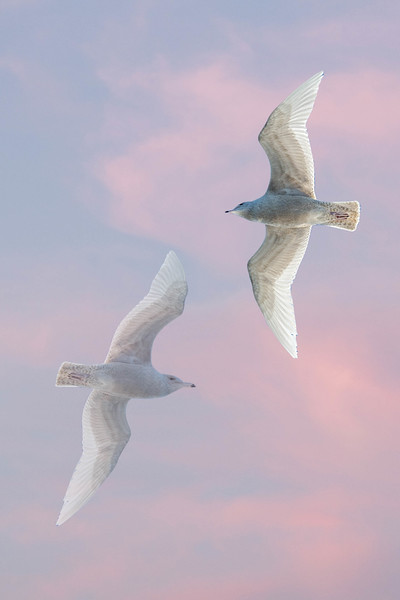 Northern fulmars flying by.