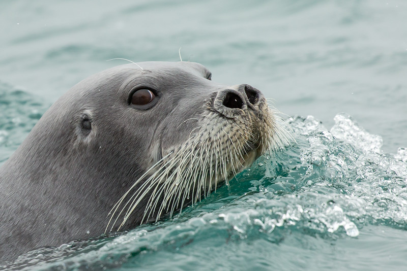 A bearded seal popped up to see what we were doing in her waters.