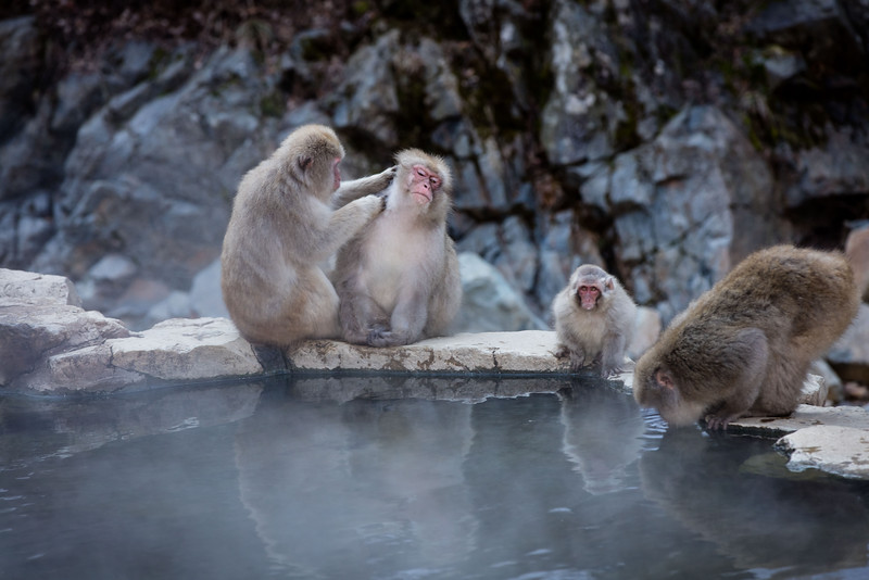 Preening is a top activity for these macaques.