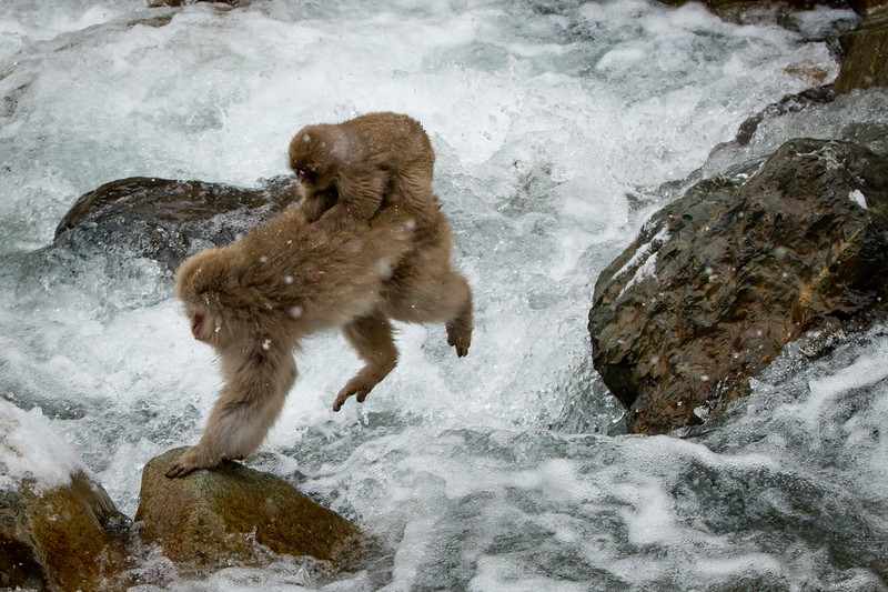Leaping even with junior on her back