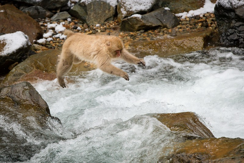 The monkeys are skillful jumpers as they leap from rock to rock at the nearby stream.