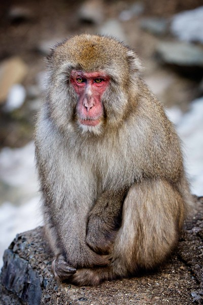 The snow monkeys have this sad, serious look most of the time.