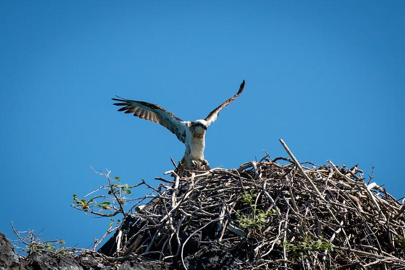 An Osprey returning to its nest at Talbort Bay.