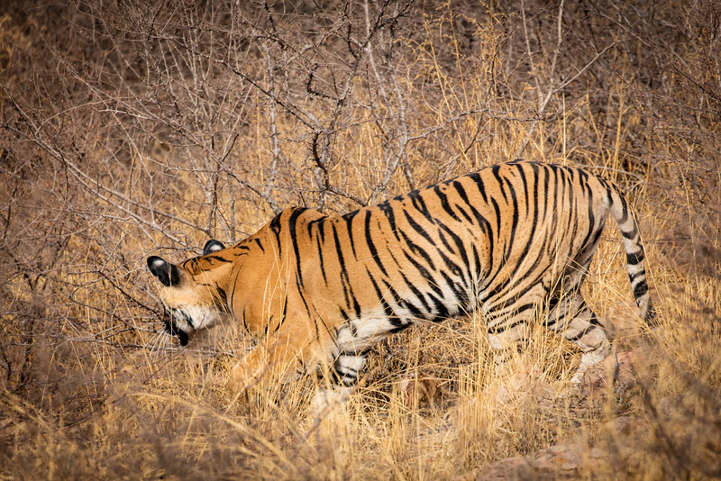 We caught a quick glimpse of a tiger heading into the bush; our best viewing so far.