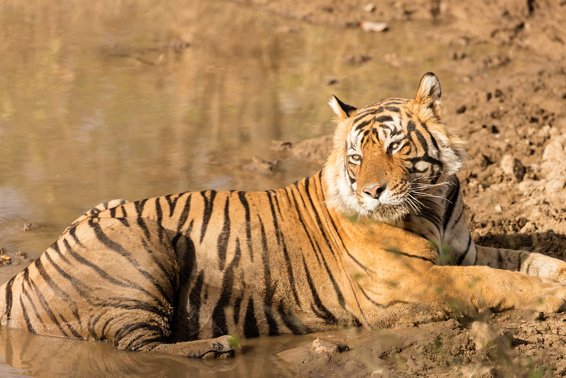 In the third park we discovered this tiger trying to beat the heat by lying in a small pond.