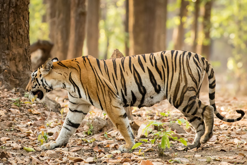 The Indian government is doing all it can to protect this endangered animal. After giving us a glance, this beautiful animal wandered into the forest.