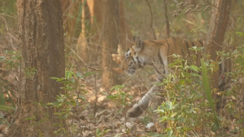 Click on the photo above to see Julie's video of the tiger passing us by.