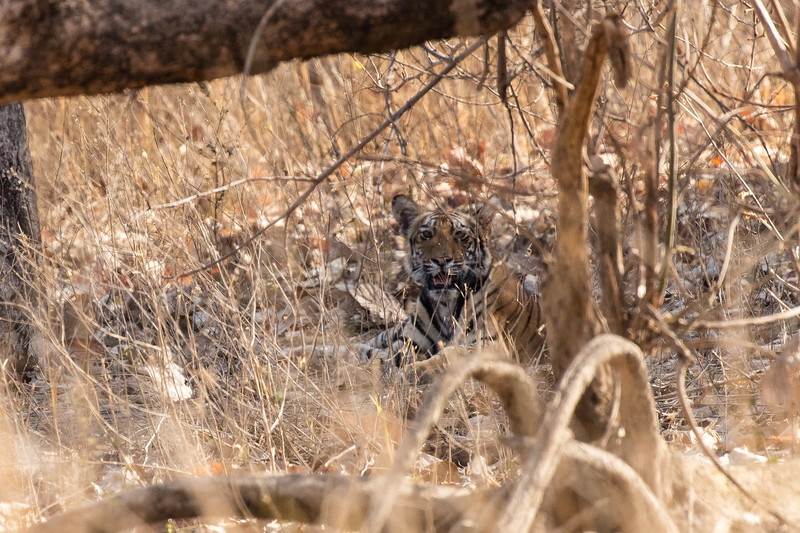 At last we got a glimpse of the elusive tiger, but it was hardly worth a photo.