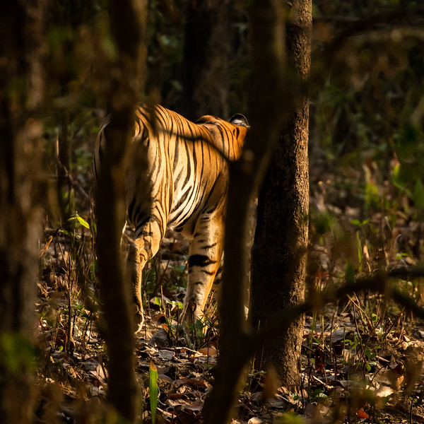 And so our search to photograph tigers ended in success as we catch the last glimpse of her in the woods.