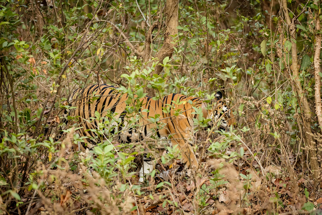 On our 24th and last safari in search of tigers we saw this tiger in the brush.