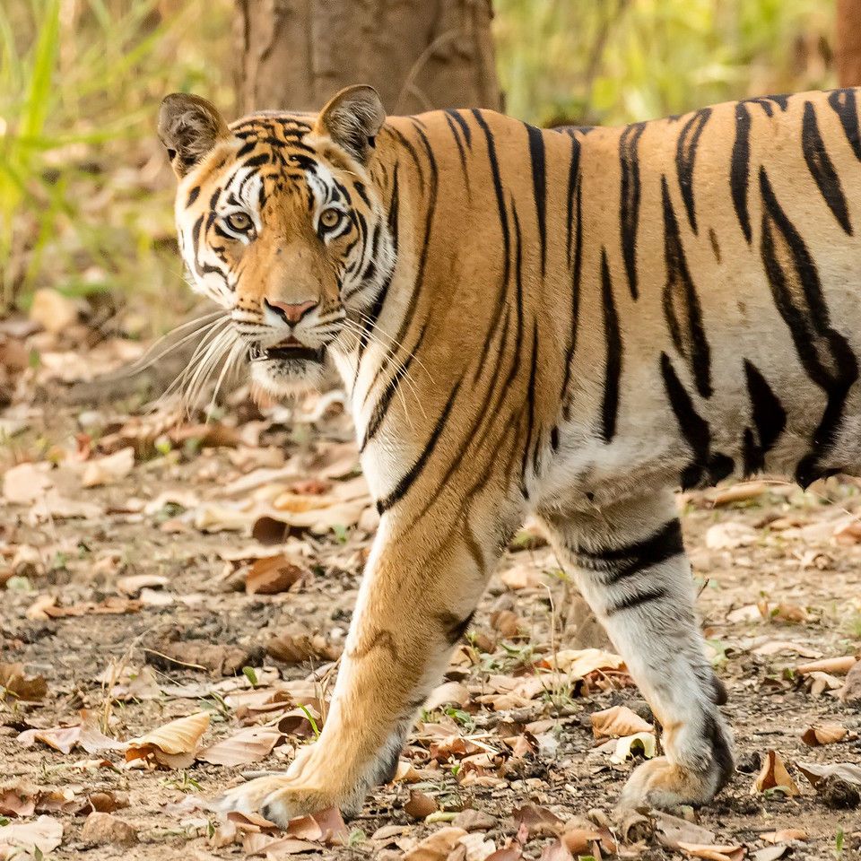It is estimated that only 4000 tigers remain in the wild with 2300 of them in India.