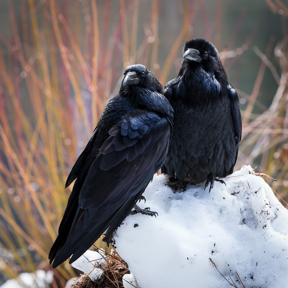 Two ravens waiting for a handout