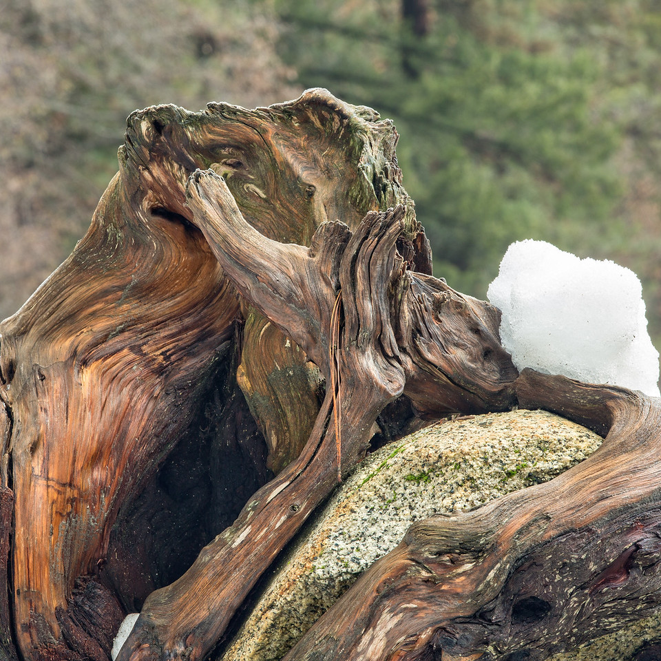 Roots exposed from a fallen tree with ensnared rock