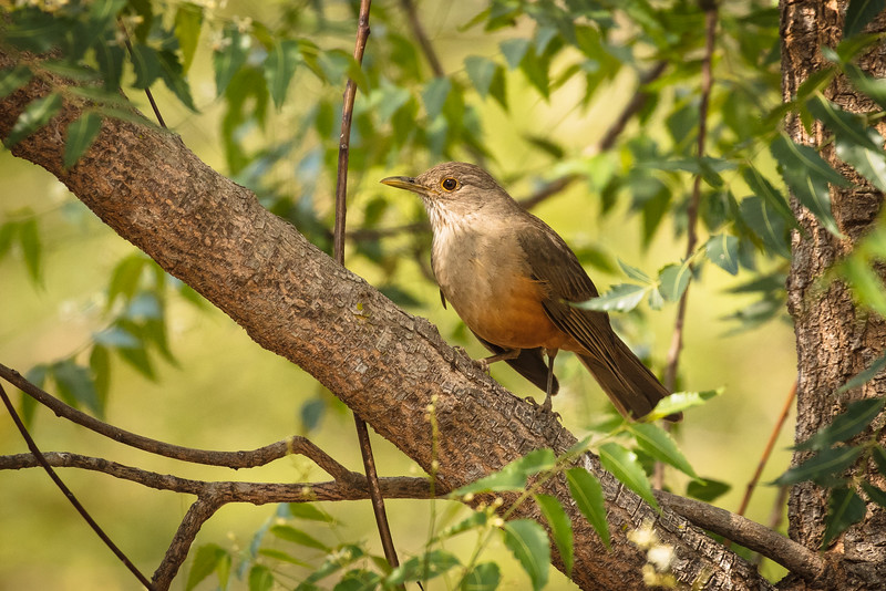 This is a rufous-bellied thrush.