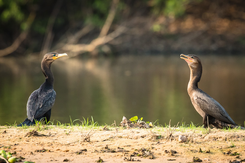 Pair of cormorants.