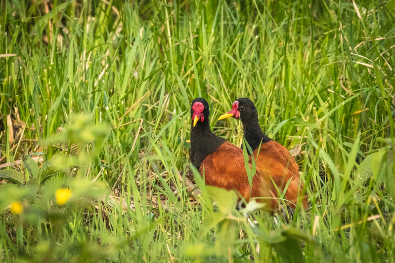 A pair of wattled jacanas