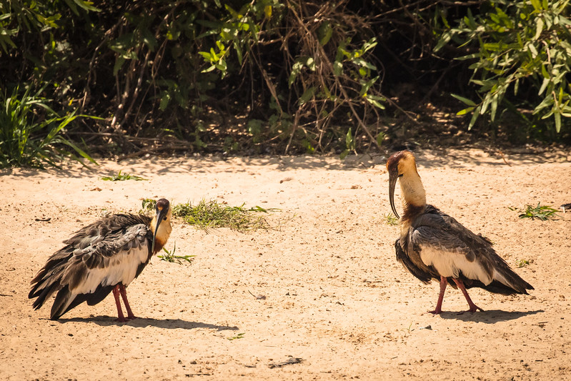 A pair of buff-necked ibises.