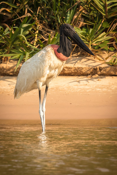 Perhaps not the most beautiful bird, the jabiru stork is an impressive presence in the Pantanal.