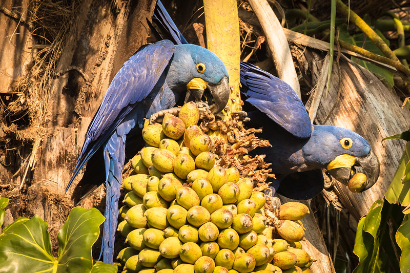 At a ranch along the river we spent hours watching the hyacinth macaws.