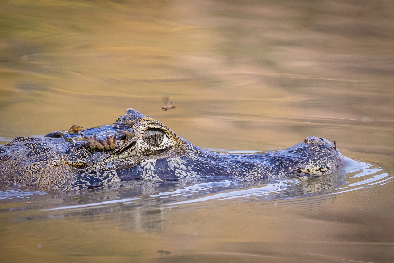 A caiman cautiously moved by.