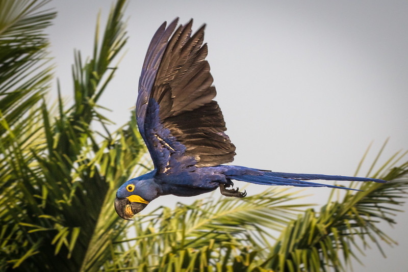 I tried hundreds of times to capture a macaw in flight.