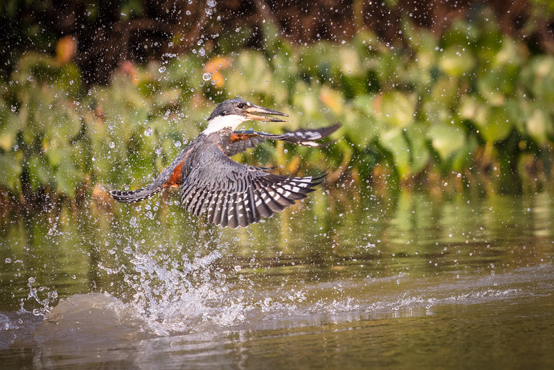 These kingfishers would swoop down from the trees to catch small fish. No fish this time.