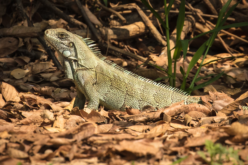 This iguana scooted away in a hurry as we got closer.